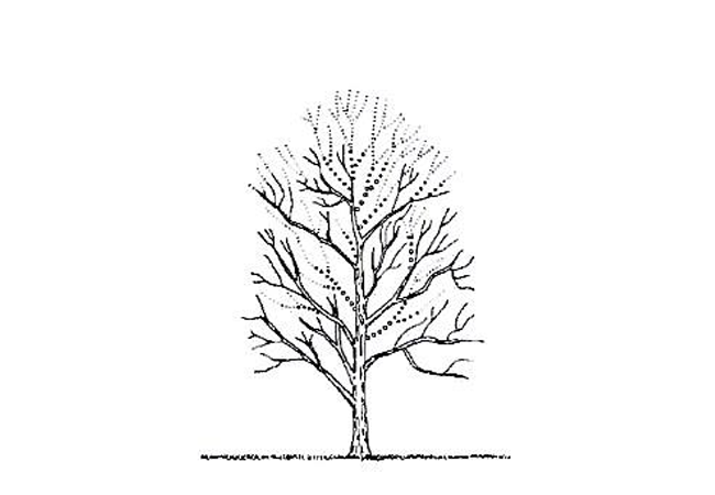 Illustration of tree crown reduction